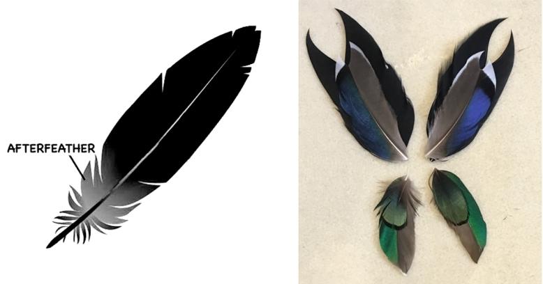 Feathers: Anatomy